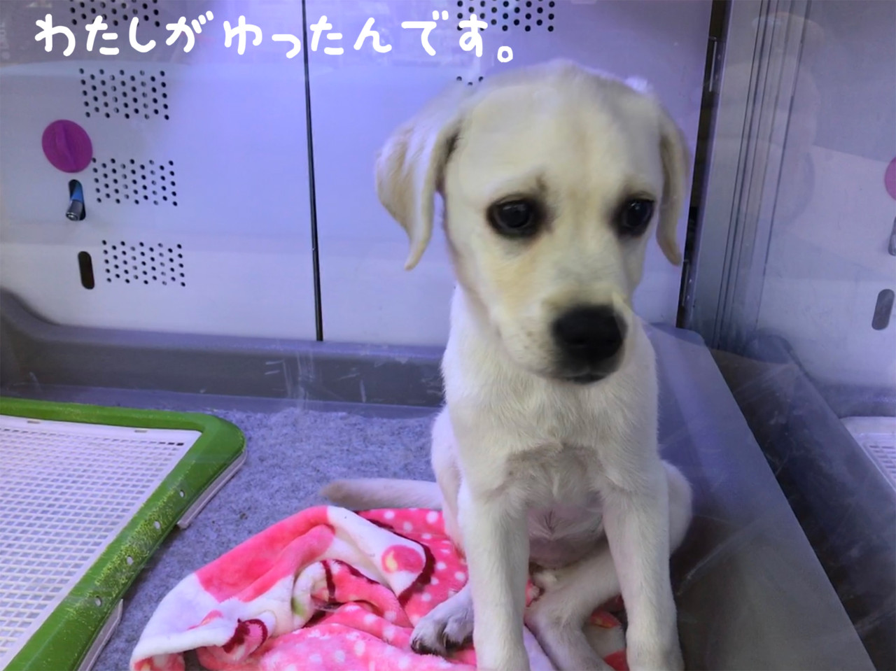 犬を迎えた時の体験談|世界一幸せなラブラドールの育て方