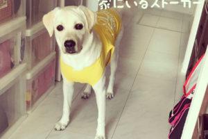わたしの犬の飼いかた_ラブラドール・レトリバー8ヶ月体重